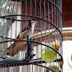 Songbirds of Hanoi