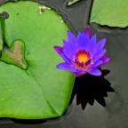 Lily & Lotus Pond