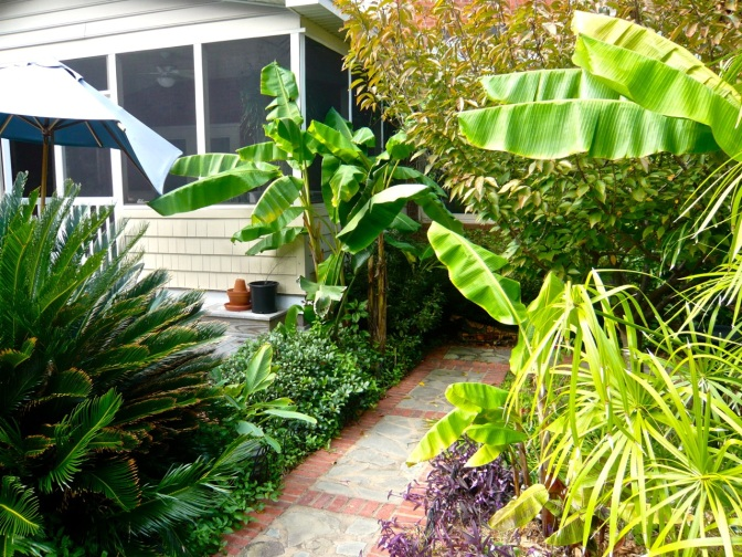 The Southern U.S. Charleston-style garden with sago palm, bananas, papyrus, and purple hearts in the steamy long summer.