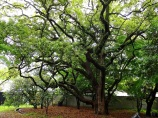 Still wet from a morning shower, a live oak tree towers over a Kyoto park.