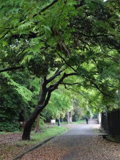 One of the many walks through the shade-draped oak canopies in the gardens of Kyoto's Imperial Palace.