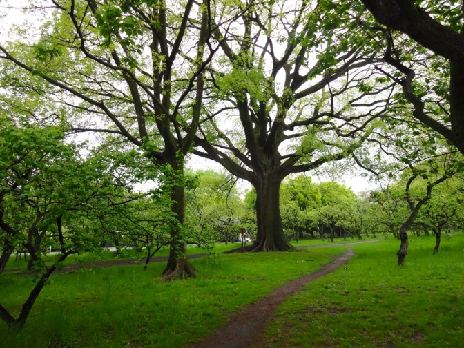 A path disappears into a grove of oaks in the gardens of the Imperial Palace in Kyoto.