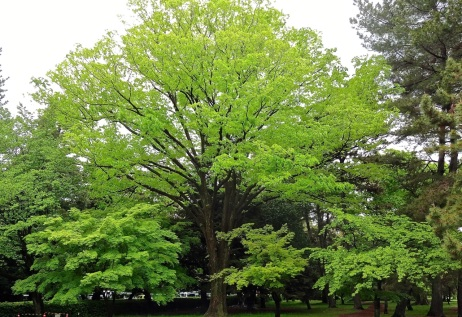 Draped in new leaves, a giant oak dominates the landscape of a city park in Kyoto, Japan.
