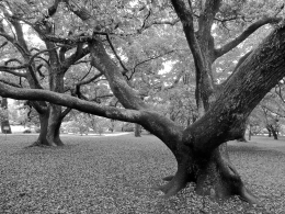 Near the Imperial Palace in Kyoto, gardens, shrines and miles of walking trails meander through century old groves of trees, including this oak.