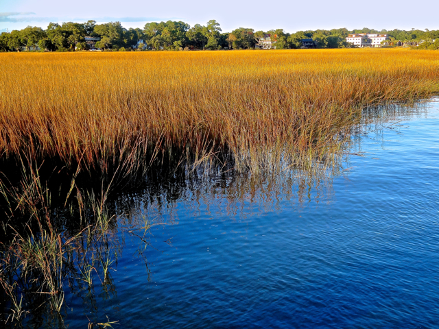 Although bright green all during the hot summer months, marsh grass in the Carolina lowcountry turns an intense golden color by late summer, lasting until the next spring arrives. The distinct gamey smell of 'pluff mud', rich and  full of both living and dead organisms,   invite and  more often repel visitors and local alike. With its deep channel and twice daily tides, Shem Creek is one of the easiest spots in Charleston to spot bottlenose dolphins swimming and fishing in the creek.  Birds include pelicans, ibis, snowy egrets, and seagulls.