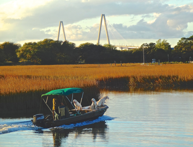 Shem Creek has been a fishing spot for much longer than Charleston's 350 year history.  Local Sewee native Americans used the brackish water to pull out fish, shrimp, crabs, oysters and mussels  to supplement their staple diet of deer, small game, and corn. A modern fisherman, with the help of a few water-loving labs ply the late Autumn creek in the shadow of the Ravennel Bridge connecting Mt. Pleasant to the peninsula of historic Charleston.